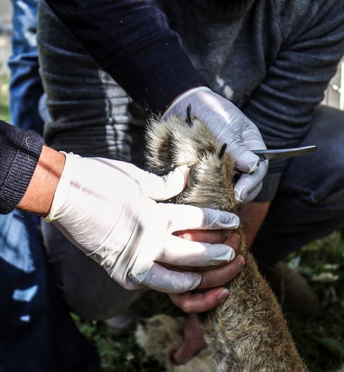 Các nhà hoạt động bảo vệ động vật khẳng định con sư tử cái này phải chịu nỗi đau khủng khiếp