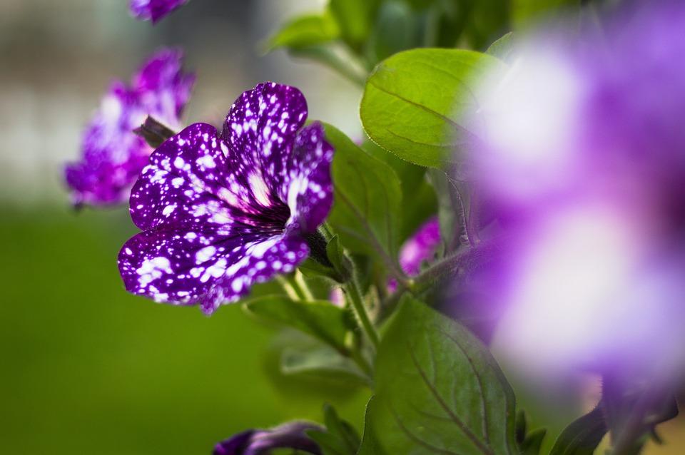 """""""Night Sky"""" (Bầu trời đêm); hay còn được mệnh danh với cái tên khác là """"loài hoa tựa dải ngân hà""""."""