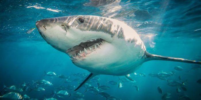 Cá mập tấn công vào thuyền kayak của Daniel.