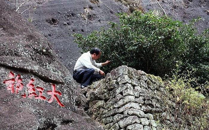 Những cây trà nguyên thủy trên núi Vũ Di. (Ảnh qua VOV)