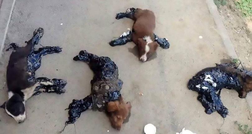 4 chú chó con may mắn thoát chết sau khi bị nhúng vào nhựa đường nóng