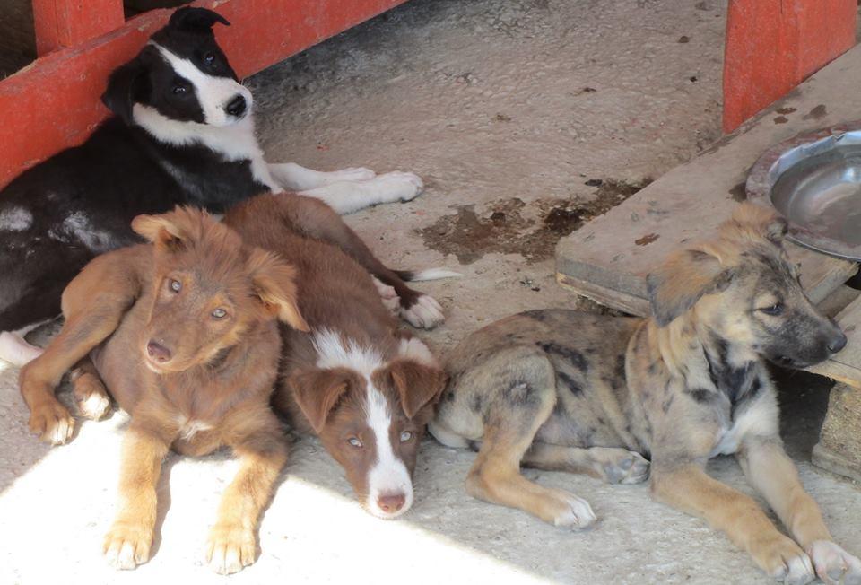 4 chú chó hiện tại đã hoàn toàn hồi phục.