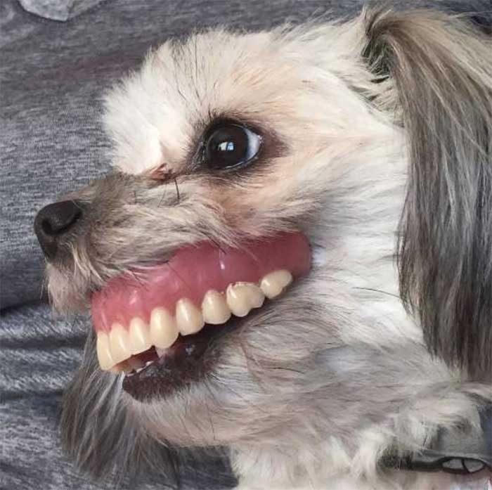 Chú chó tinh nghịch: Trộm răng giả của chủ nhân để đeo 'chơi'