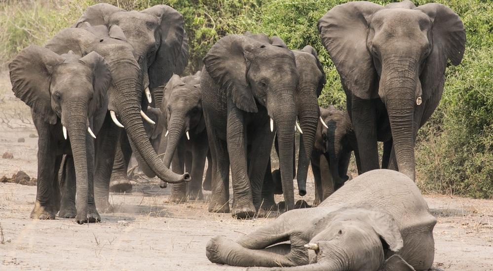 300 con voi đau buồn nói lời vĩnh biệt sau khi voi đầu đàn qua đời