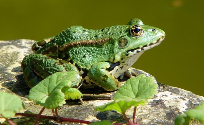 Tính ra cả đời ông Liên đã giết vô số con ếch. (Ảnh: Worldnews)
