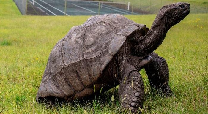 Cụ rùa hiện nay đã 187 tuổi.