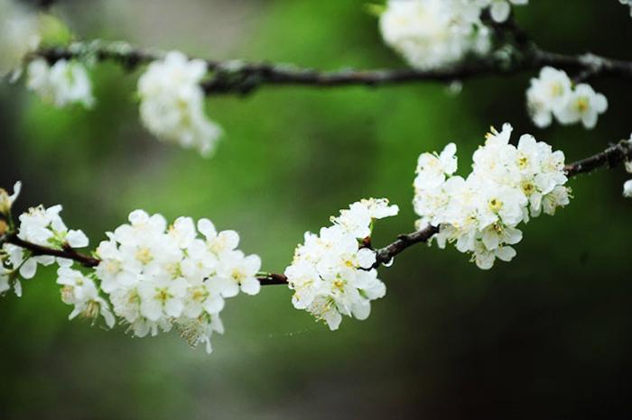 Hoa mai luôn lặng thinh, nhưng từ xa xưa người đời luôn mê mẩn trước vẻ đẹp của chúng. Để tận mắt chiêm ngưỡng loài hoa này, bao bước chân đã hằn lên con đường mòn.