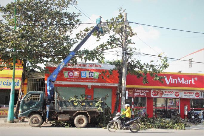 Gần 150 cây xanh bị di dời, đốn hạ để trồng thay thế 209 cây Giáng hương.