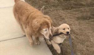 Cún nhỏ tình nguyện làm đôi mắt dẫn đường cho chó già mù lòa