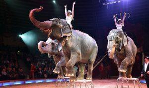 Đan Mạch thu mua 4 con voi cuối cùng của rạp xiếc