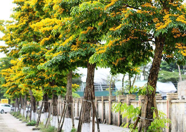 Cây giáng hương được chọn để thay thế cây xanh trên trục Quốc lộ 9.