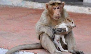 Khỉ mẹ nhận chó con về nuôi, đút cho ăn như con ruột