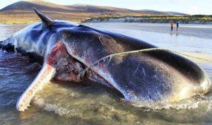 Cá voi chết dạt trên bờ biển sau khi nuốt phải gần 100kg rác thải