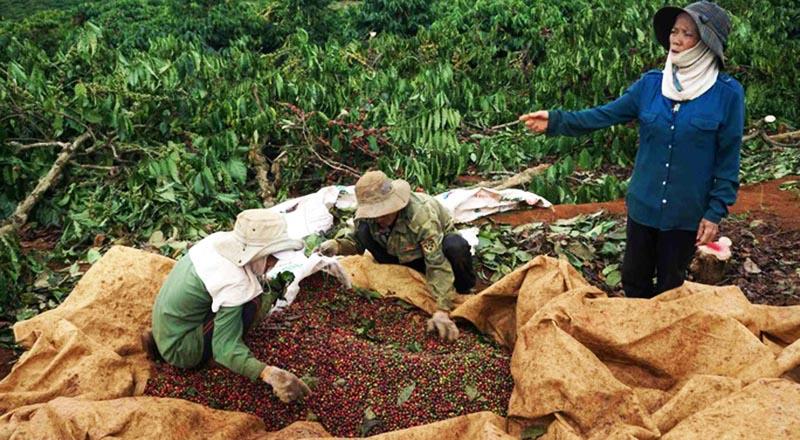 Theo người dân, mỗi cây cà đền bù 400.000 đồng là quá thấp, 1 cây cà phê mỗi năm đã cho thu số tiền này. (Ảnh qua danviet)