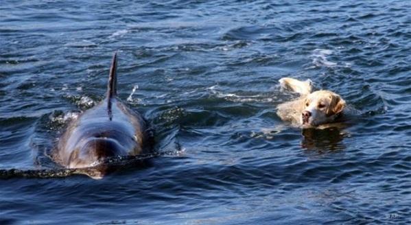 Tình bạn đặc biệt: Chú chó hằng ngày bơi ra biển chơi đùa cùng cá heo