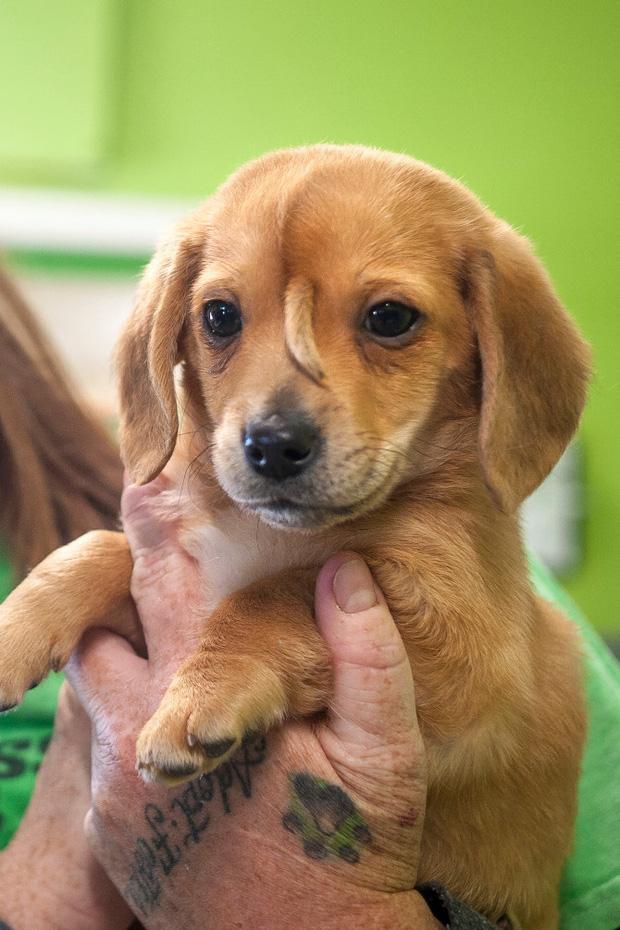 Chú chó trở nên nổi tiếng nhờ có đuôi mọc trên trán