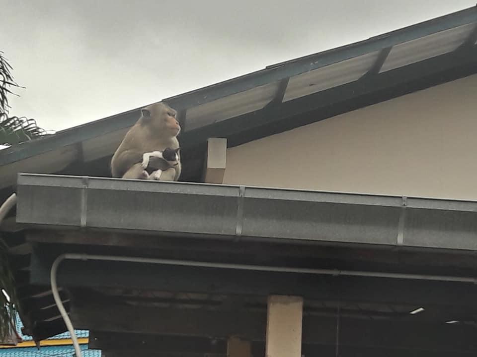 Khỉ bắt cóc mèo con làm con tin sau khi được người dân cho ăn chuối