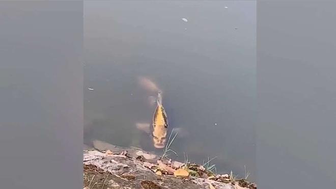 Trung Quốc: Phát hiện cá chép có khuôn giống người