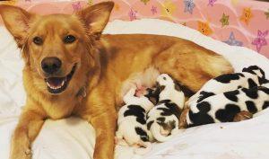 Hài hước: Chó mẹ vàng hoe nhưng đẻ ra một bầy chó đốm