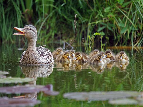 Vịt mẹ dẫn 56 vịt con nối đuôi nhau bơi trên hồ nước
