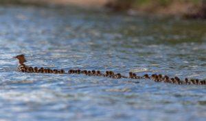 Khoảnh khắc thú vị: Vịt mẹ dẫn 56 vịt con nối đuôi nhau bơi trên hồ nước