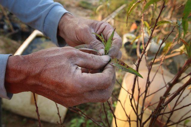 Hà Nội: Hàng ngàn gốc đào chết khô trước Tết Nguyên Đán 2020-ảnh 2