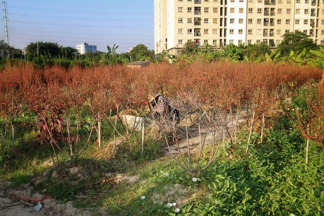 Hà Nội: Hàng ngàn gốc đào chết khô trước Tết Nguyên Đán 2020-ảnh 1