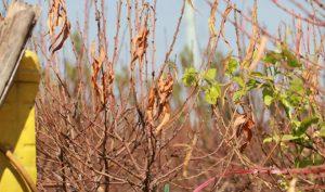 Hà Nội: Hàng ngàn gốc đào chết khô trước Tết Nguyên Đán 2020