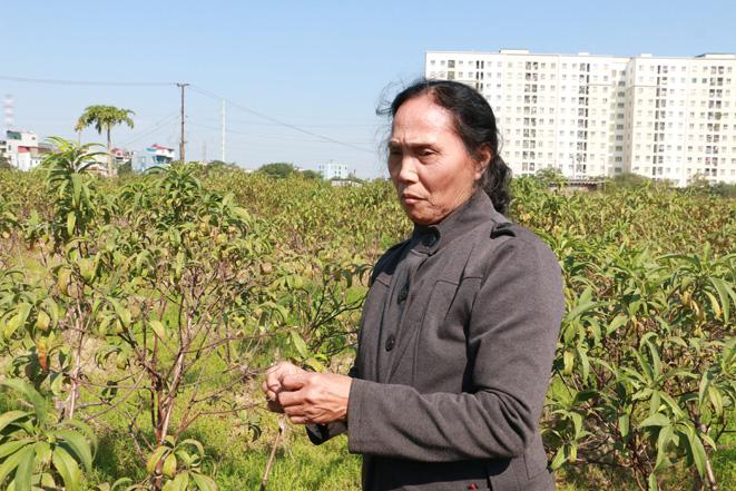 Hà Nội: Hàng ngàn gốc đào chết khô trước Tết Nguyên Đán 2020-ảnh 3