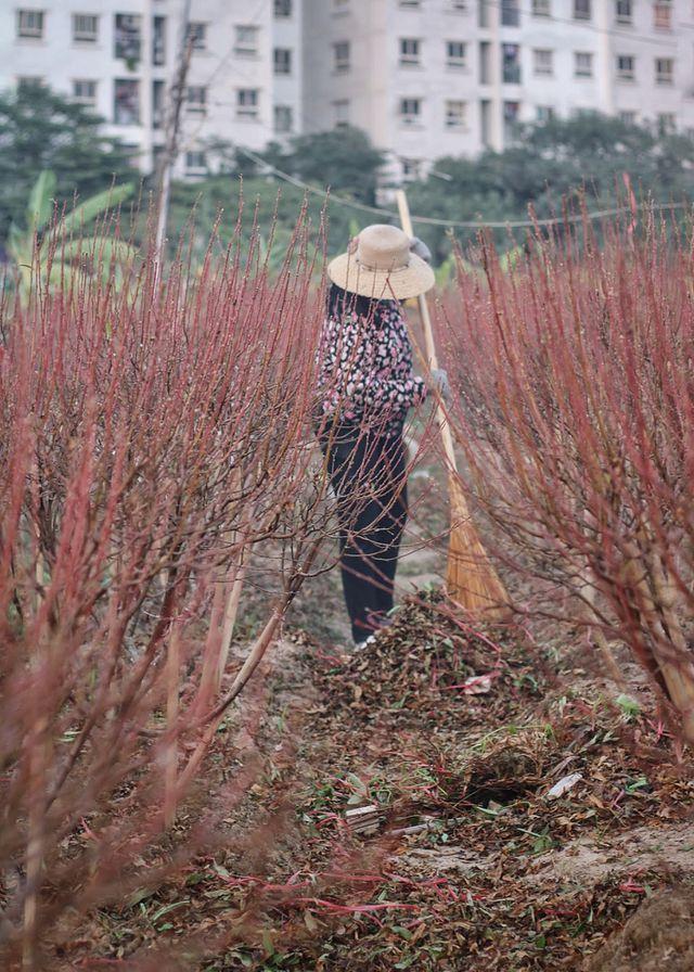 Hà Nội: Hàng ngàn gốc đào chết khô trước Tết Nguyên Đán 2020-ảnh 5