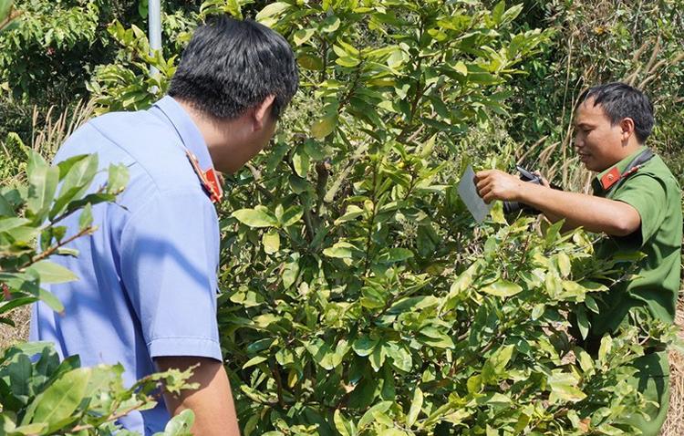 Bình Dương 220 gốc mai tết bị kẻ xấu cưa đứt nửa thân, thiệt hại 500 triệu đồng-2