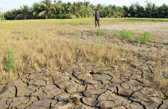 Một cánh đồng bị xâm nhập mặn khiến lúa chết hết ở huyện Ba Tri, Bến Tre trong mùa khô 2015-2016. (Ảnh qua Zing)