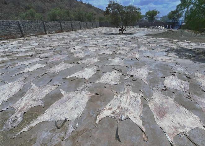 Da lừa được phơi khô tại một trại giết mổ lừa hợp pháp ở Kenya. Ảnh: AFP.