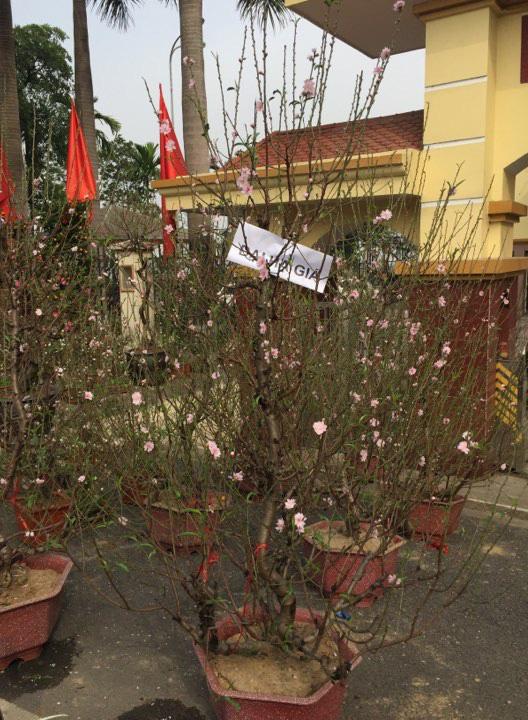 Nhiều thương lái bán đào, quất tại Hà Nội đã rục rịch treo biển đại hạ giá để bán tháo. (Ảnh qua cafef)