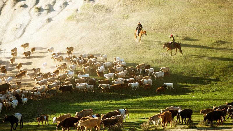 Một ổ dịch bệnh lở mồm long móng đã được tìm thấy ở Tân Cương, được chính phủ phê chuẩn giết toàn bộ trâu bò ở nơi này.