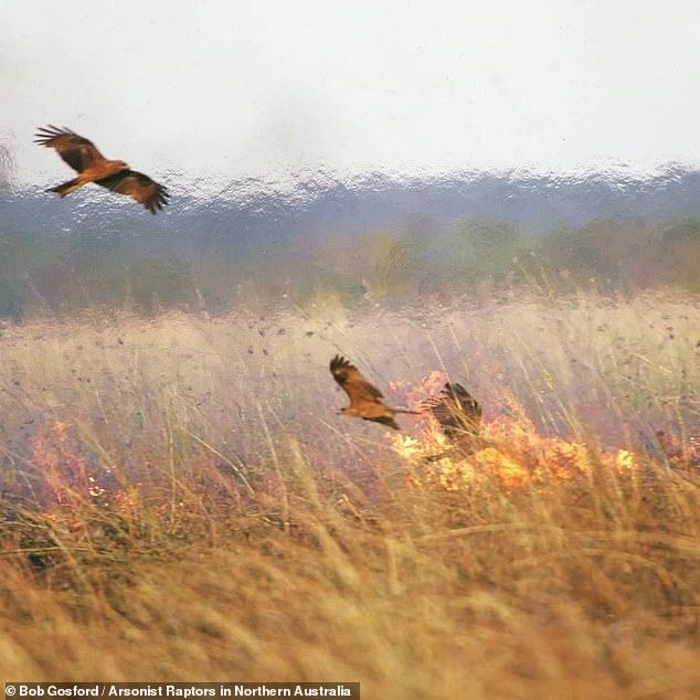 Loài chim dùng lửa để săn mồi đang khiến thảm họa cháy rừng ở Úc trở nên tồi tệ hơn? - ảnh 1