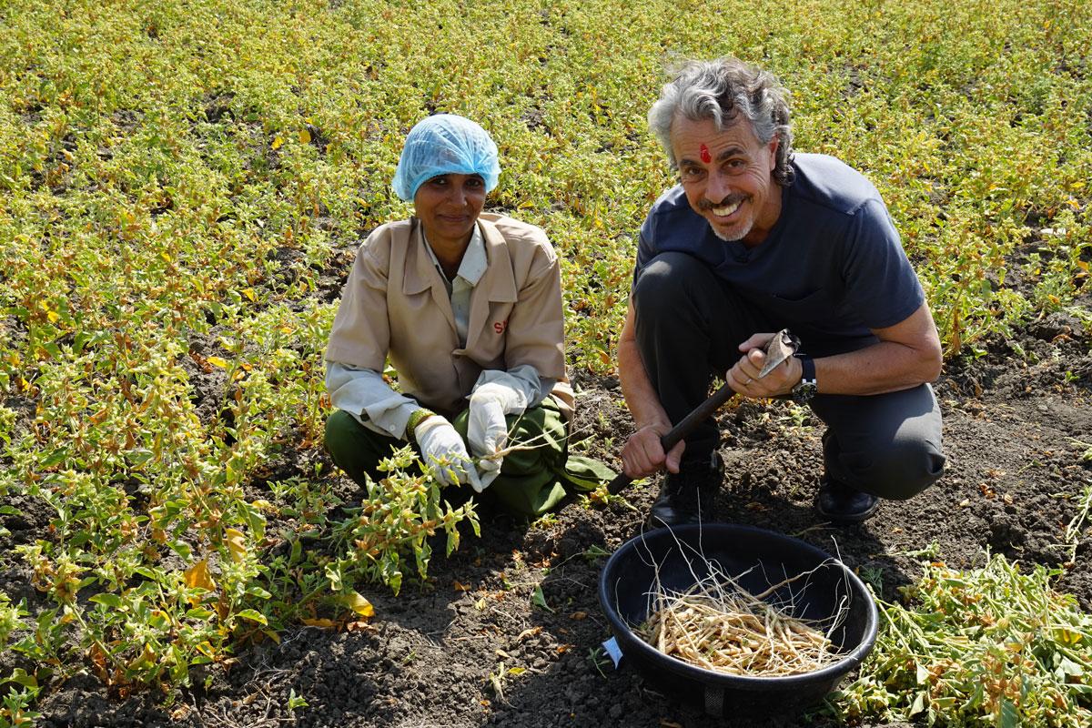 Người dân Ấn Độ đang thu hoạch Ashwagandha