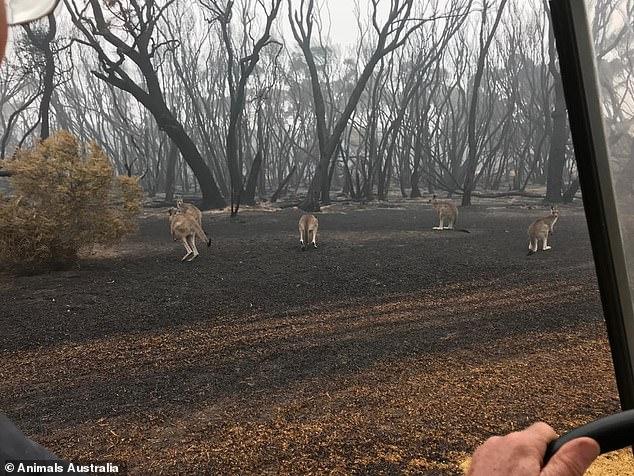 Úc: Thả hàng tấn cà rốt và khoai lang để cứu đói động vật bị cháy rừng - ảnh 10