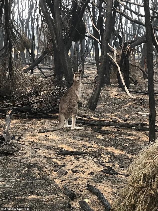 Úc: Thả hàng tấn cà rốt và khoai lang để cứu đói động vật bị cháy rừng - ảnh 11