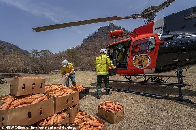 Úc: Thả hàng tấn cà rốt và khoai lang để cứu đói động vật bị cháy rừng - ảnh 2