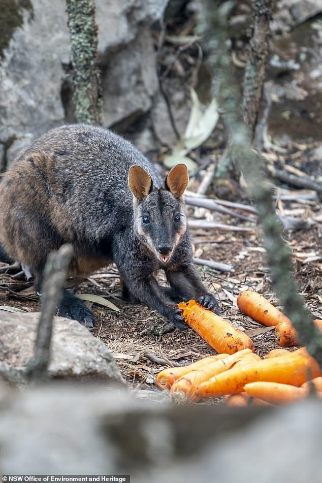 Úc: Thả hàng tấn cà rốt và khoai lang để cứu đói động vật bị cháy rừng - ảnh 5