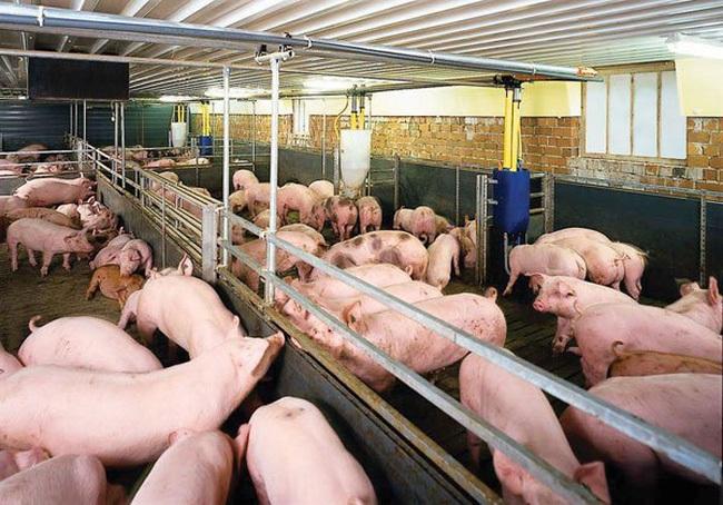 Các doanh nghiệp lớn đều đồng loạt giảm giá thịt lợn hơi xuất chuồng xuống còn 75.000 đồng/kg. (Ảnh qua vietnamnet)