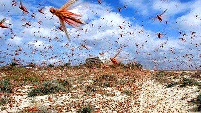 """Dịch châu chấu đang áp sát TQ, nghệ sĩ Đài Loan kêu gọi người dân """"ăn côn trùng cứu quốc"""" (ảnh 2)"""