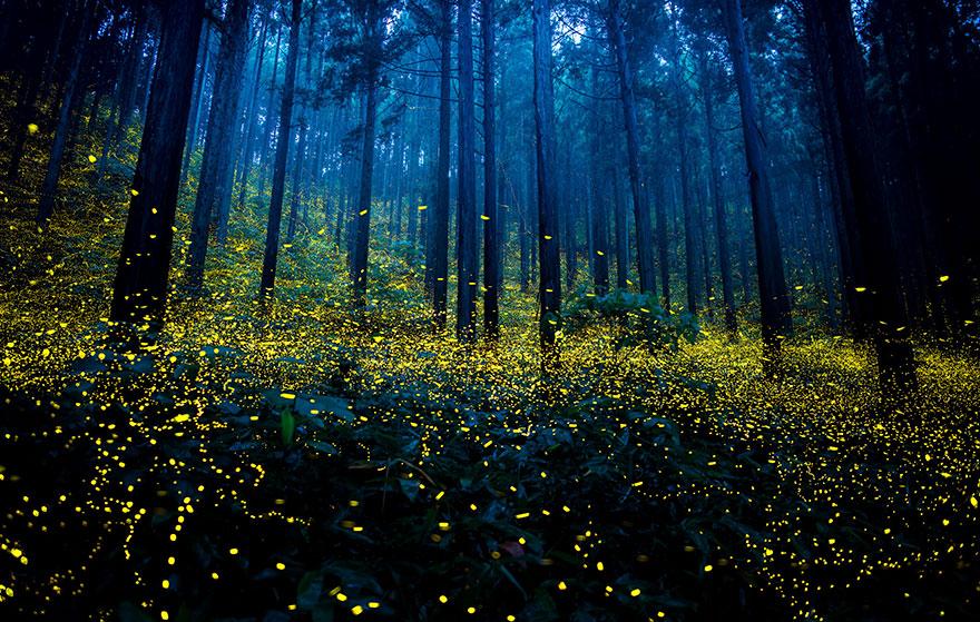hàng ngàn con đom đóm sẽ tụ tập cùng nhau tại một khu vực và phát sáng liên tục.