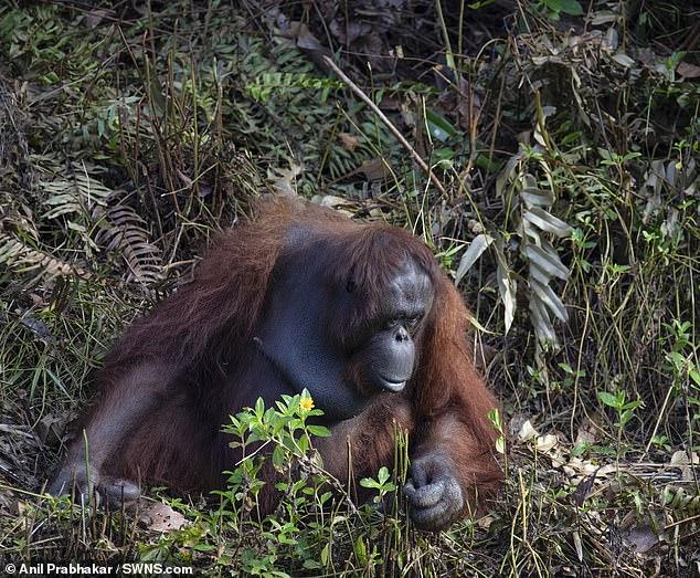 đười ươi Tapanuli này trên thế giới chỉ còn 800 cá thể và đang đứng trước nguy cơ bị tuyệt chủng.