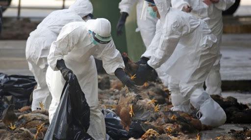 Gần 30.000 gia cầm bị nhiễm cúm A/H5N6 tại Thanh Hóa và Hà Nội bị tiêu hủy