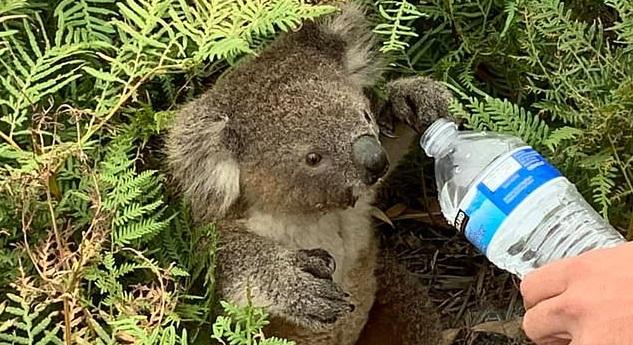 Ngửa đầu uống nước, khiến nước xâm nhập vào phổi gây ra viêm phổi hít và tử vong ở koala.
