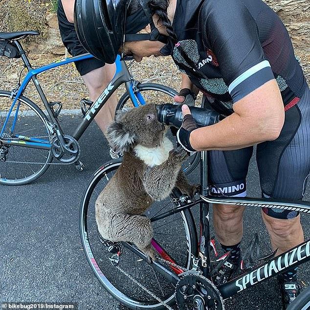 Anna Heusler đang lái xe vào CBD của Adelaide vào thứ Sáu khi cô bắt gặp một con gấu túi ở giữa đường cao tốc (trong hình) và cho nó nước