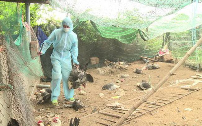 Gia cầm bị nhiễm cúm A H5N6 tại Thanh Hóa và Hà Nội bị tiêu hủy