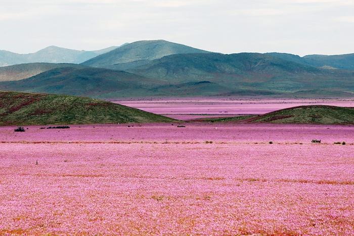 Hoang mạc Atacama nở hoa